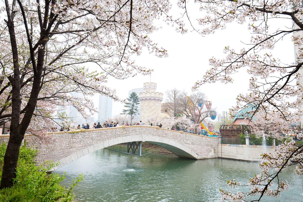 south korea cherry blossom