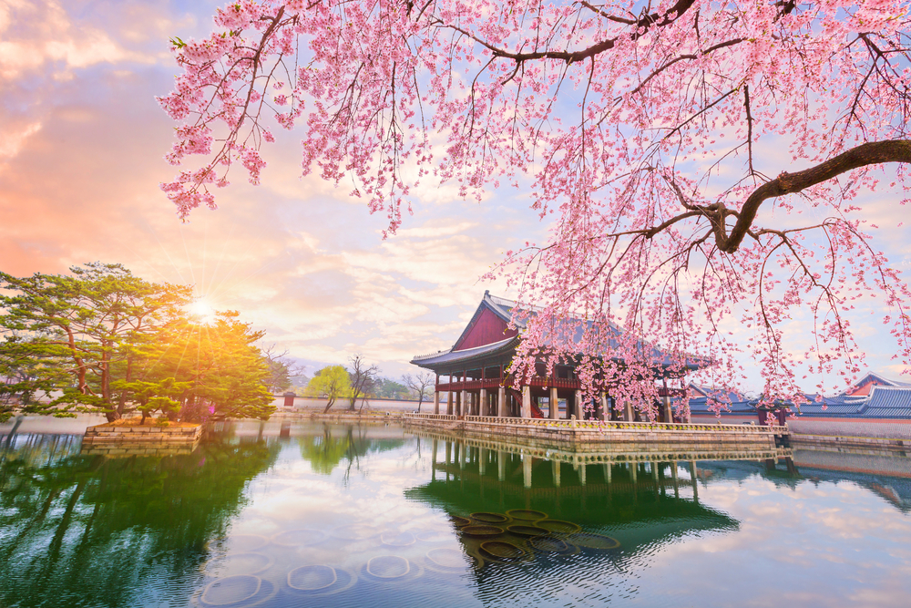 When and Where to Enjoy Cherry Blossoms in South Korea This Season?