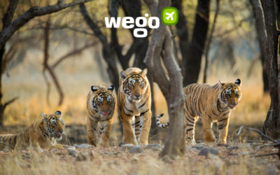 Celebrating International Tigers Day: The Best National Parks to Spot Tigers in India